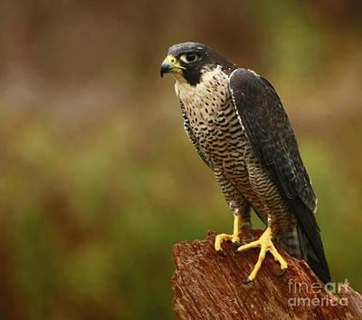 Majestic Peregrine Falcon In The Rain Art Print