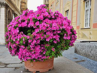 Travel Rights Managed Images - Majestic Rhododendron Royalty-Free Image by Dany Lison