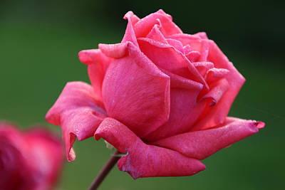 Majestic Rose Art Print by Michael Williams