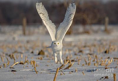 Photograph - Majestic Snowy by Cheryl Baxter