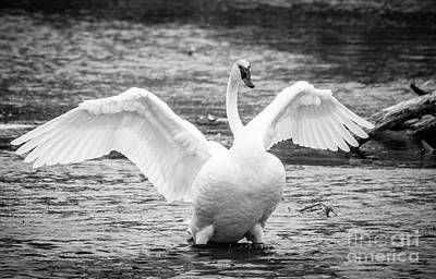 Photograph - Majestic Swan by Cheryl Baxter
