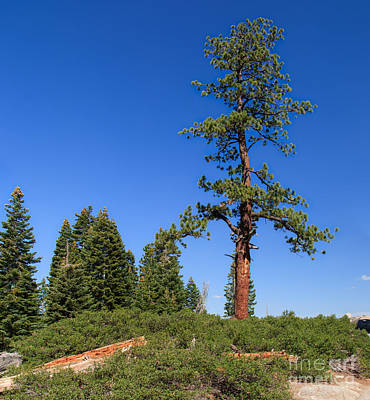 Mountains Photograph - Majestic Tree At Glacier Point by Charles Kozierok