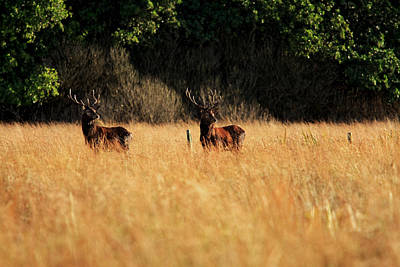 Photograph - Majestic Twins - Red Deer Stags by Aidan Moran