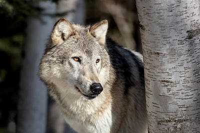 Photograph - Majestic Wolf by Jack Bell