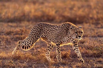 Cheetah Wall Art - Photograph - Making The Moment by Hani Almarhoun