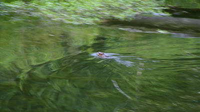 Photograph - Making Waves - Muskrat Art Print by Jane Eleanor Nicholas