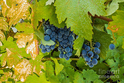 Photograph - Making Wine by Suzanne Luft