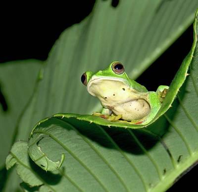 Rhacophorus Photograph - Malabar Gliding Frog by K Jayaram