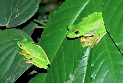 Rhacophorus Photograph - Malabar Gliding Frogs by K Jayaram