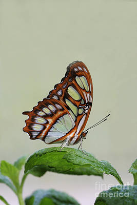 Art Print featuring the photograph Malachite Butterfly #5 by Judy Whitton
