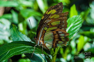 Photograph - Malachite Butterfly by Bianca Nadeau