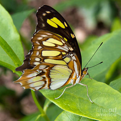Photograph - Malachite Butterfly by Chris Scroggins