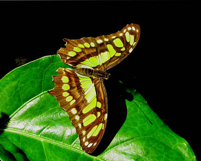 Photograph - Malachite Butterfly by Judy Wanamaker