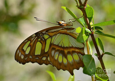 Photograph - Malachite Butterfly by Kathy Baccari