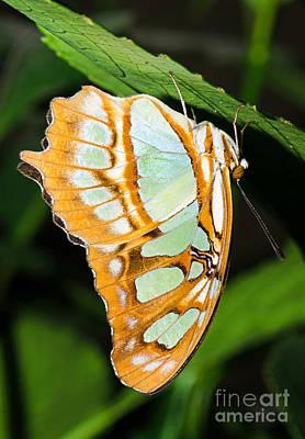 Photograph - Malachite Butterfly Siproeta Stelenes by Millard H Sharp