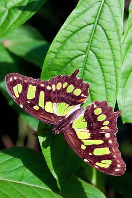 Malachite Photograph - Malachite Butterfly (siproeta Stelenes by Susan Degginger