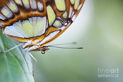 Malachite Photograph - Malachite Butterfly by Tim Gainey