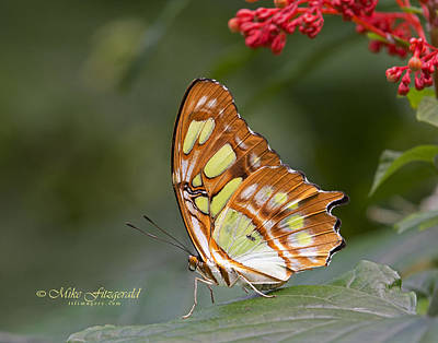 Photograph - Malachite by Mike Fitzgerald