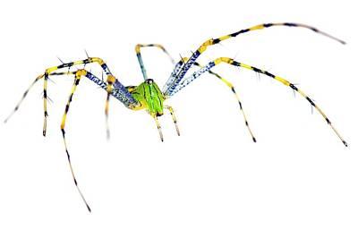 Malagasy Green Lynx Spider Art Print