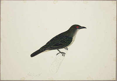 Watercolour Photograph - Malay Glossy Starling by British Library