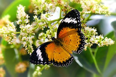 Malay Lacewing Butterfly  Art Print by Saija  Lehtonen