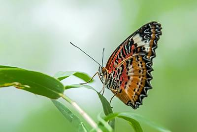 Photograph - Malay Lacewing Butterfly by Tam Ryan