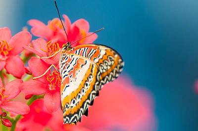 Photograph - Malay Lacewing by Gene Sherrill