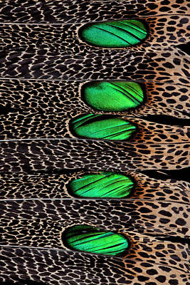Spotted Tail Photograph - Malay Peacock Tail Feather Design by Darrell Gulin