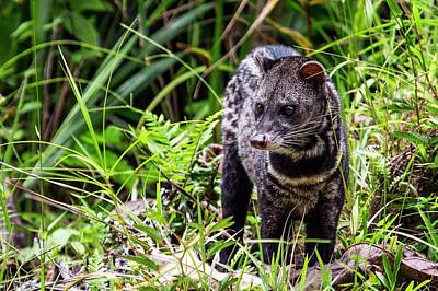 Danum Valley Conservation Area Photograph - Malayan Civet by Paul Williams