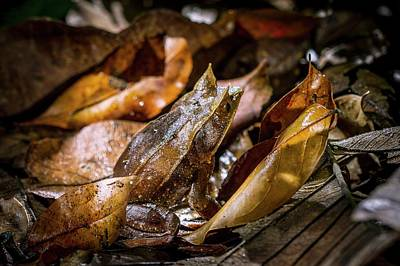 Frog Photograph - Malayan Horned Frog Camouflaged by Paul Williams