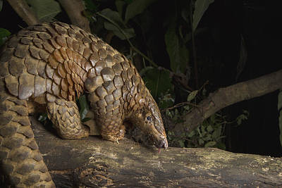 Animals And Insects Photograph - Malayan Pangolin Eating Ants Vietnam by Suzi Eszterhas