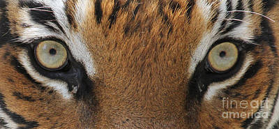 Photograph - Malayan Tiger Eyes by Meg Rousher