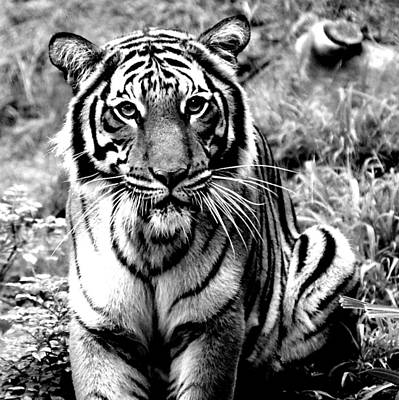 Malayan Tiger Art Print