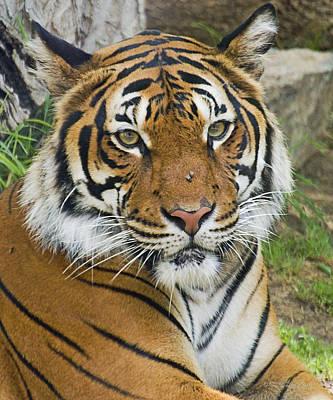 Stocktrek Images - Malayan Tiger by Walter Herrit