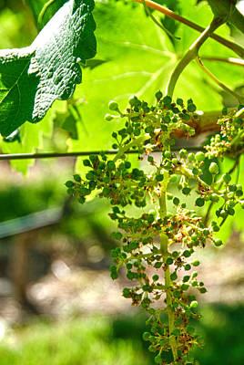 Malbec Photograph - Malbec Grapes - Mendoza Argentina by Kevin Bain