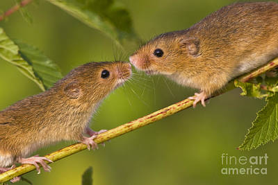 Male And Female Harvest Mice Art Print by Jean-Louis Klein and Marie-Luce Hubert