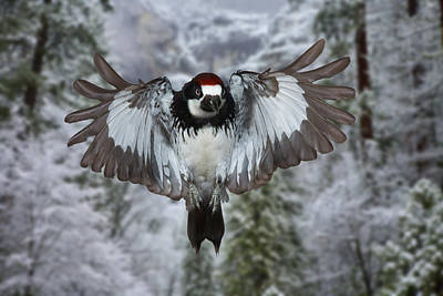 Photograph - Male Acorn Woodpecker by Gregory Scott