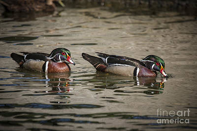 Photograph - Male Adult Wood Ducks by Ronald Lutz