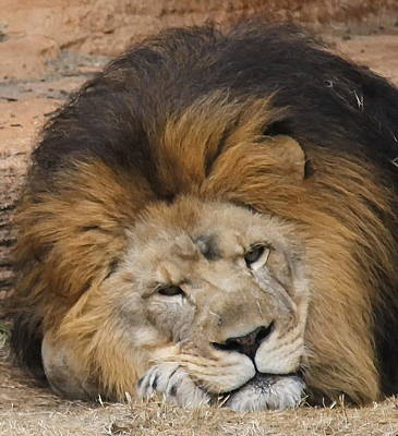 Zoo Photograph - Male African Lion by Cathy Lindsey