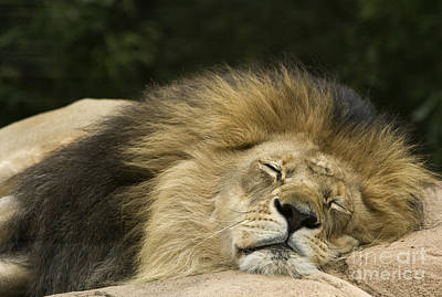 Lion Photograph - Male African Lion by David Millenheft