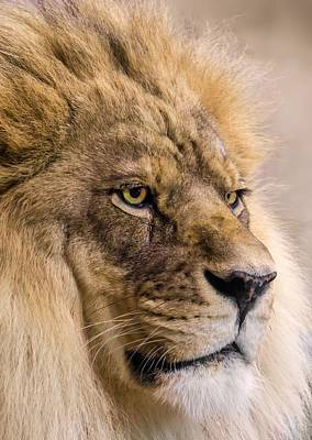 Lion Face Photograph - Male African Lion by Jim Hughes