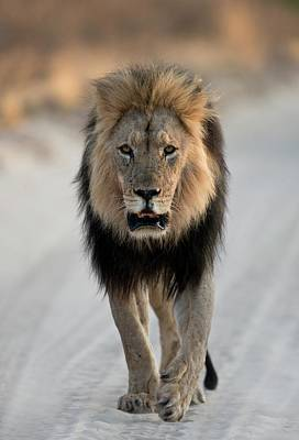 Male African Lion Walking Print by Tony Camacho