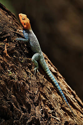 Agama Photograph - Male Agama Lizard, Samburu National by Adam Jones