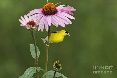 Photograph - Male American Goldfinch And Purple by Linda Freshwaters Arndt