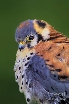 Photograph - Male American Kestrel Falco Sparverius Captive by Dave Welling