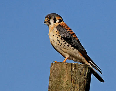 Photograph - Male American Kestrel by Ira Runyan