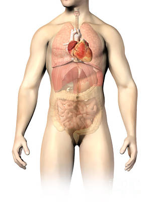 Internal Organs Digital Art - Male Anatomy Of Internal Organs by Leonello Calvetti