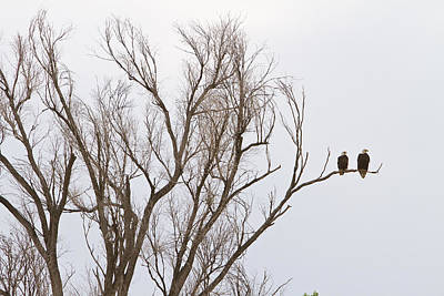 Corporate Art Photograph - Male And Female Bald Eagles by James BO  Insogna