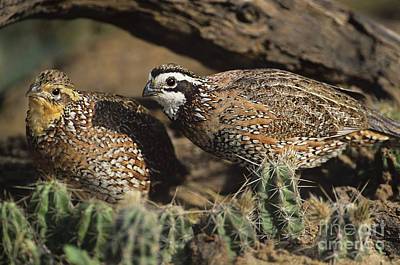 Photograph - Male And Female Bobwhites Collinas Virginianus Wild Texas by Dave Welling