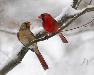 Photograph - Male And Female Cardinal by Ann Bridges